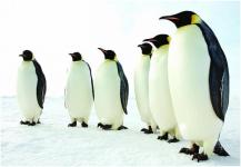 جامعة أوكسفورد تبحث عن متطوعين لعد «طيور البطريق»