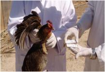 كندا.. فيروس انفلونزا الطيور يظهر في مزرعة ثانية