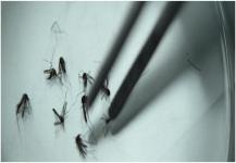 فيروس زيكا قد يختبئ في أعضاء بالجسم محمية من المناعة