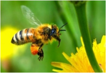 أول دواء للسعات النحل وسيجرب على البشر