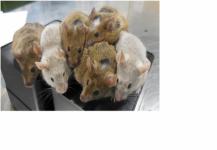 توليد فئران حية من خلايا جلدية خارج الرحم