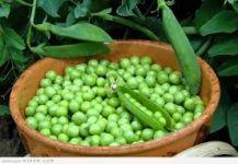 أسباب عديدة ستجعلك تتناول البازلاء الخضراء