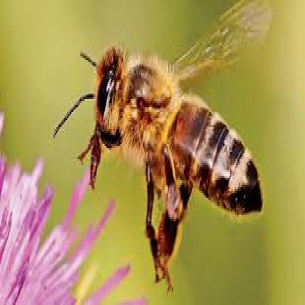 سم نحل العسل قد يكون فعالاً في قتل خلايا سرطان الثدي