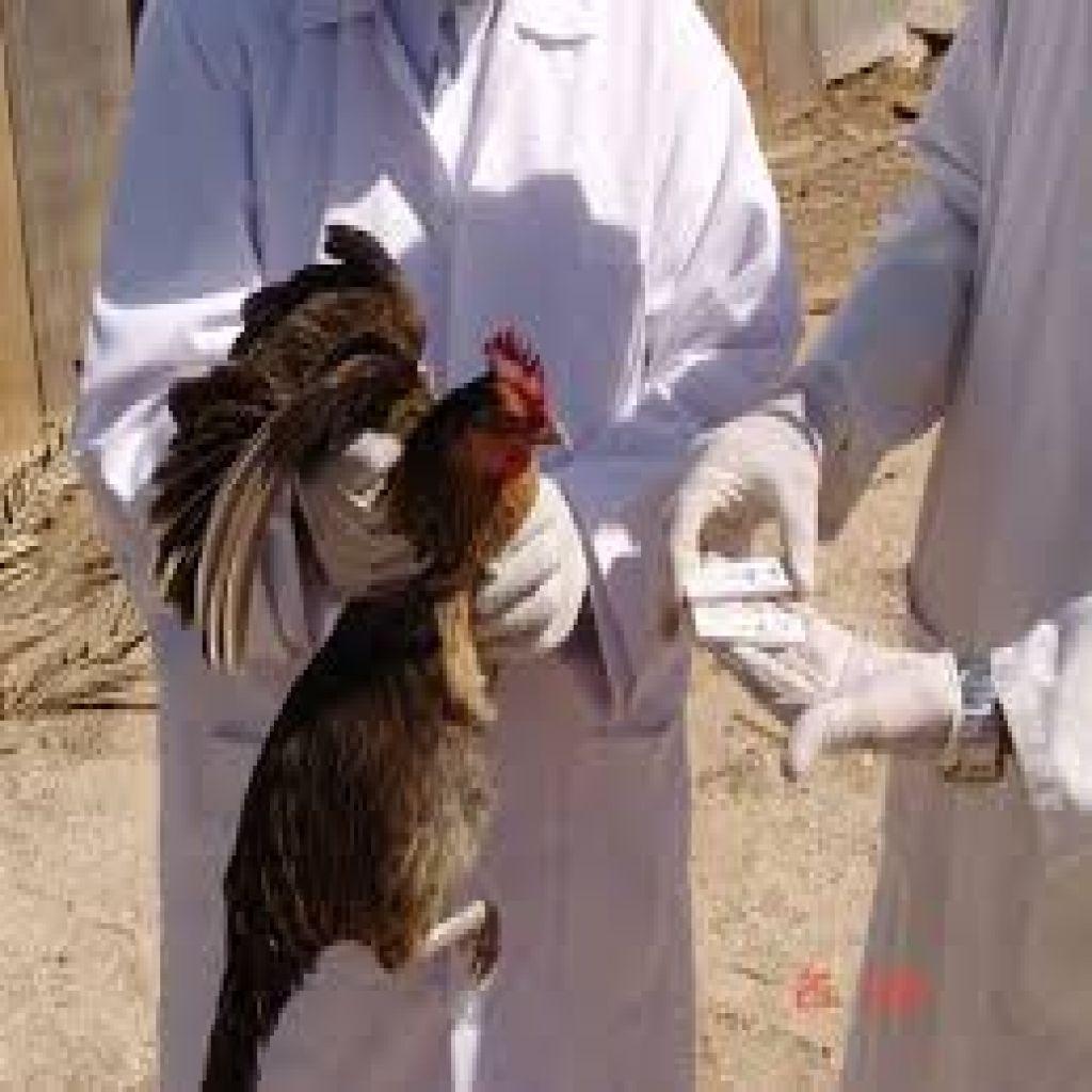 سلالات قاتلة من الإنفلونزا تتفشى بأوروبا تؤدي إلى نفوق ملايين الطيور