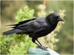 العلماء يتوصلون لسبب ذكاء الغربان